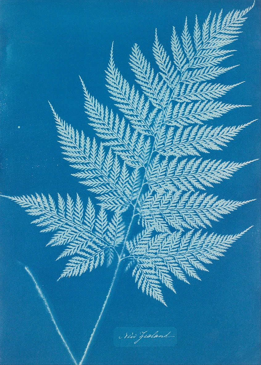 New Zealand by Anna Atkins