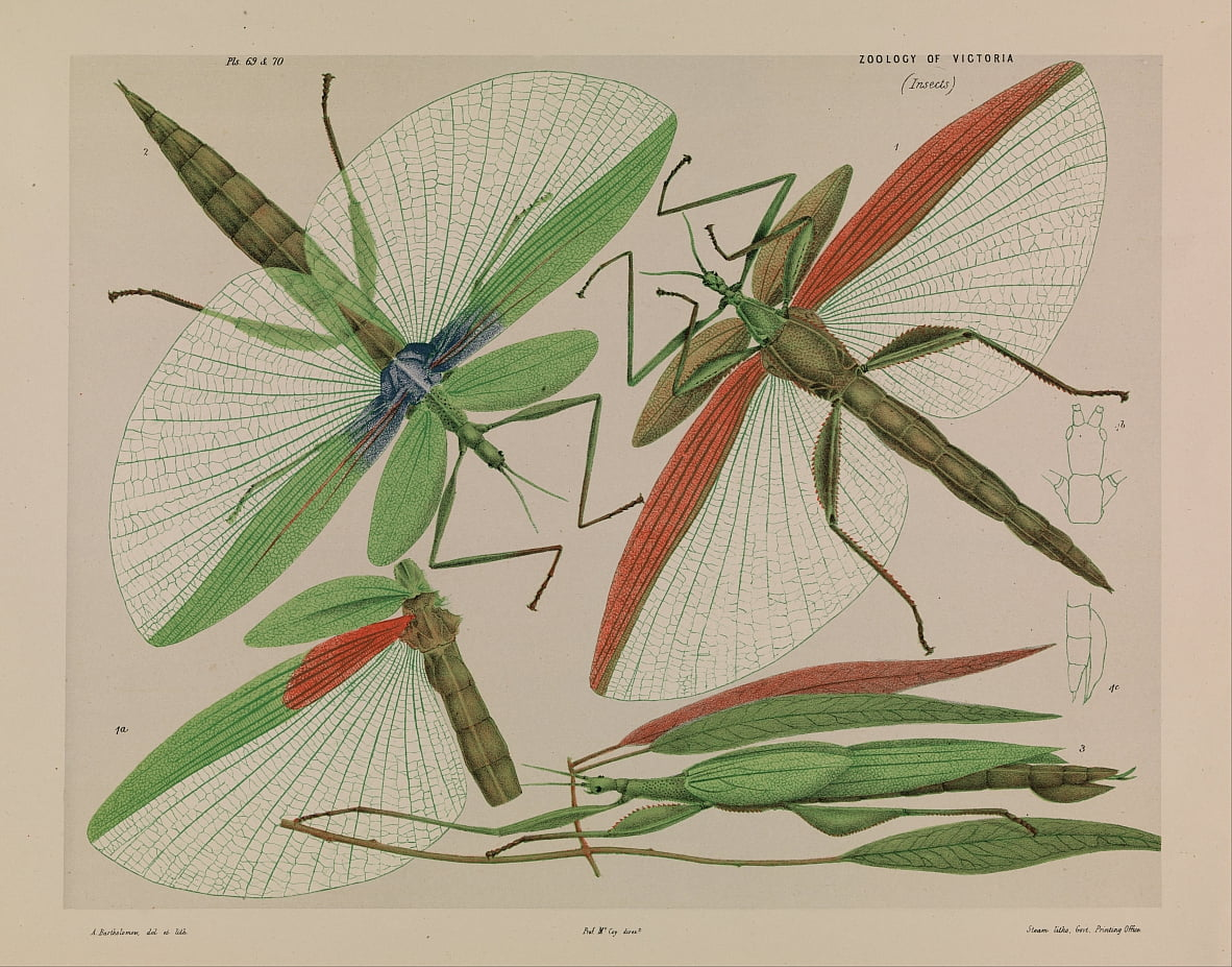 Red shouldered stick insect, Tropidoderus rhodomus by Arthur Bartholomew