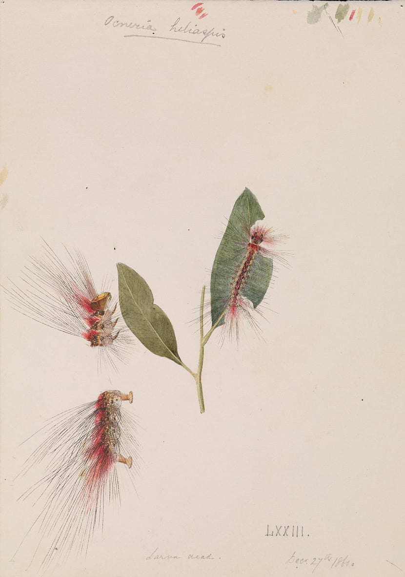 Rose Anthelid, Chenuala helispis by Arthur Bartholomew