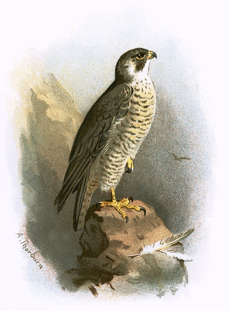 Peregrine Falcon by English School