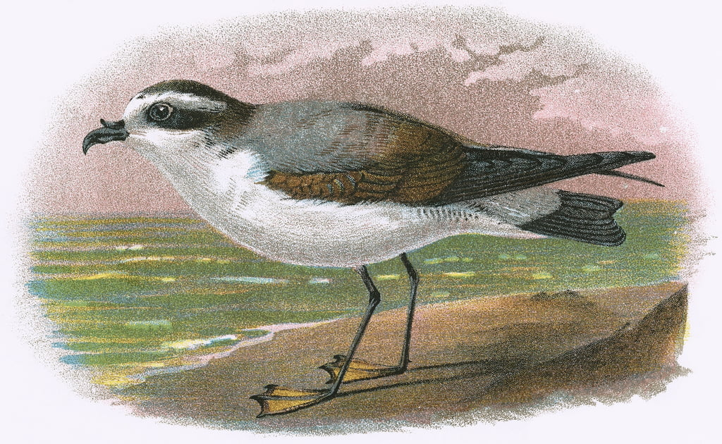 White bellied Petrel by English School