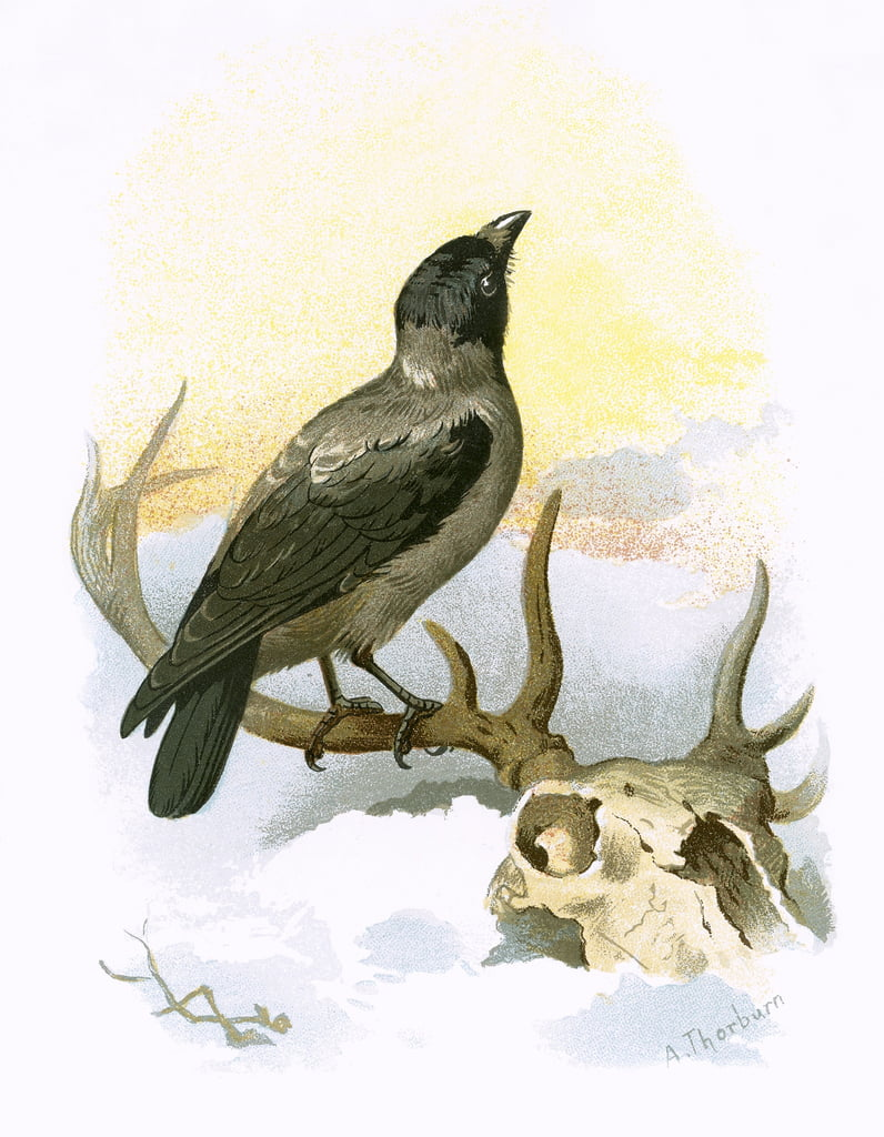 Hooded crow by English School