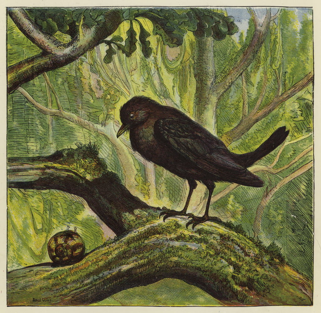 Blackbird and snail  by Ernest Henry Griset