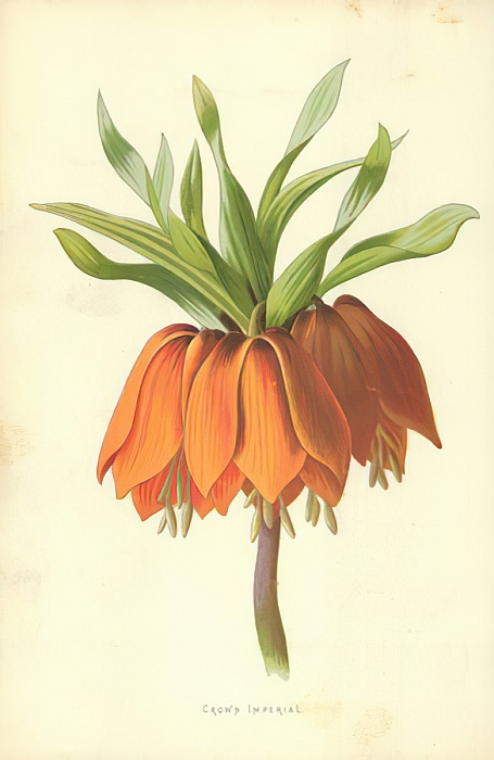 Crown Imperial by Frederick Edward Hulme