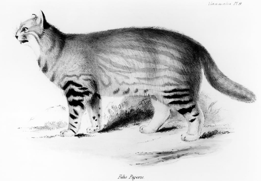 Felis Pajeros, plate 9 from