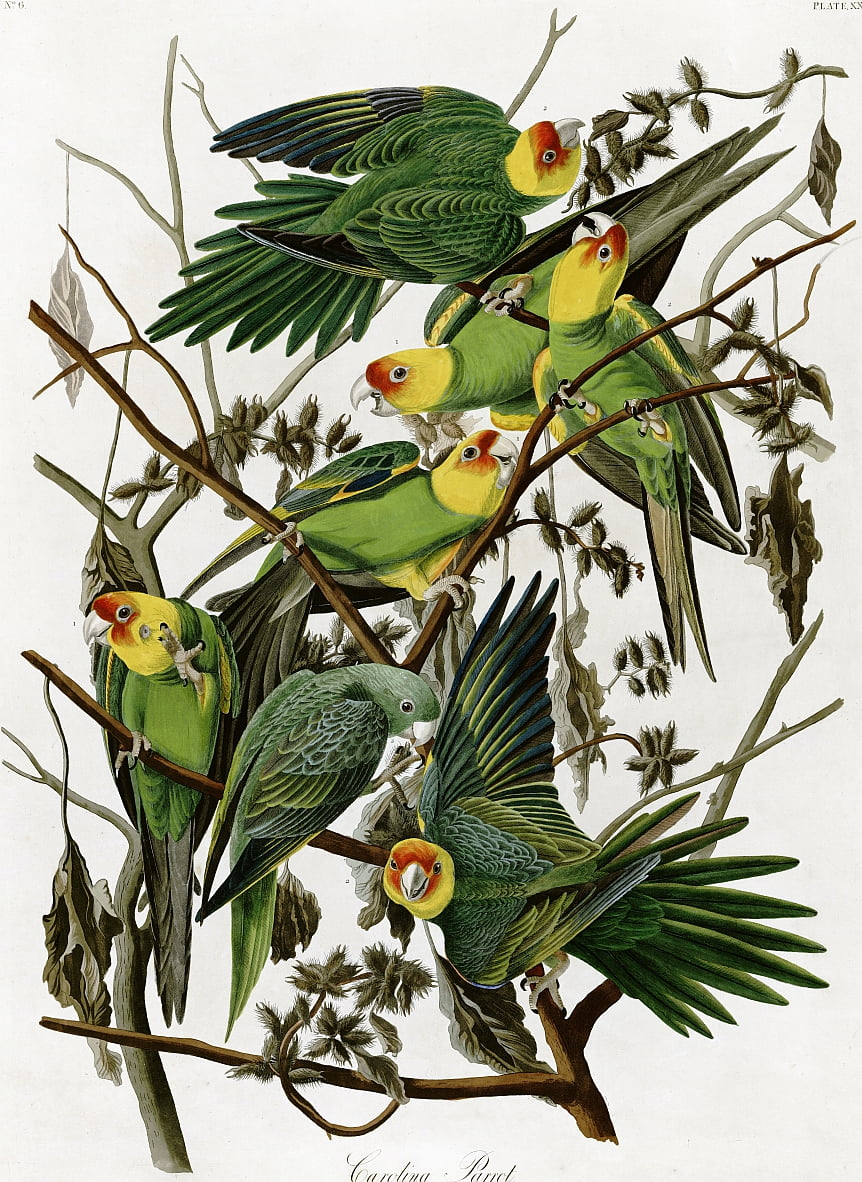 Carolina parakeets by John James Audubon (1833) by John James Audubon