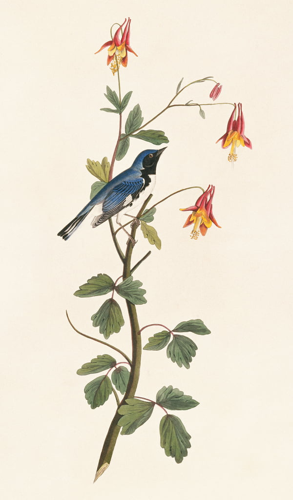 Dendroica caerulescens, black-throated blue warbler, Plate 155 from John James Audubons Birds of America, original double elephant folio, 1827-30 (hand-coloured aquatint) by John James Audubon