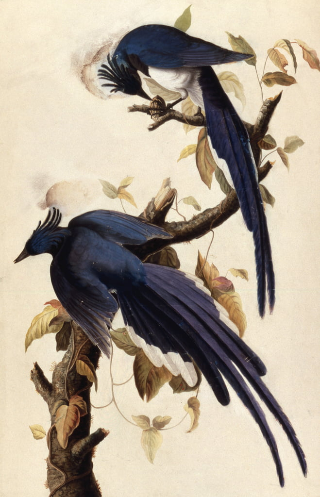 Magpie Jay, 1829 (wc, collage und graphite on paper) by John James Audubon