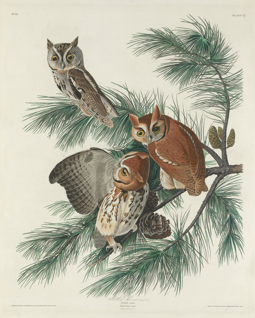 Mottled Owl, 1830  by John James Audubon