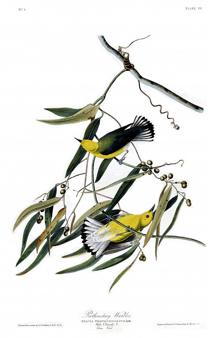 Plate 3 of Birds of America by John James Audubon depicting Prothonotary Warbler by John James Audubon