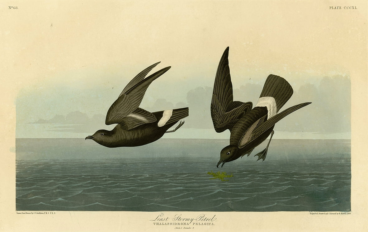 Plate 340 of Birds of America by John James Audubon depicting Least Stormy-Petrel by John James Audubon
