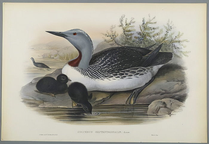 Colymbus Septentrionalis: Red Throated Diver (colour litho on wove paper) by John Gould