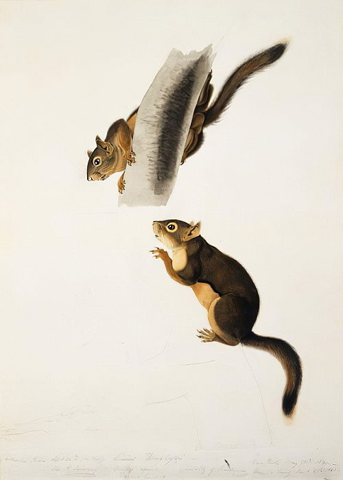 Douglas Squirrel, for the folio The Viviparous Quadrupeds of North America, published in 1845, c.1841-43 (pencil, ink and wc on paper) (see 129904) by John James Audubon