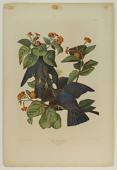 White-headed Pigeon, printed by Julien Bien and published by Roe Lockwood & Son, 1861 (chromolithograph) by John James Audubon