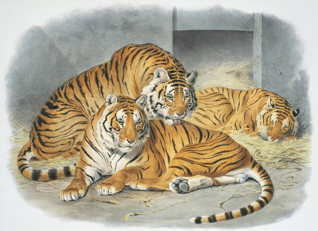 Panthera tigris, plate from A Monograph of the Felidae, or Family of the Cats, by Daniel Giraud Elliot, 1833 (hand-coloured litho) by Joseph Wolf