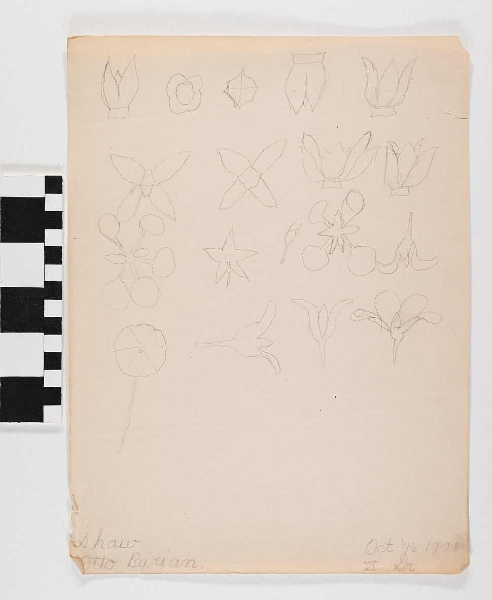 Pencil drawing on paper of many different flower buds in four rows by Otto Burian