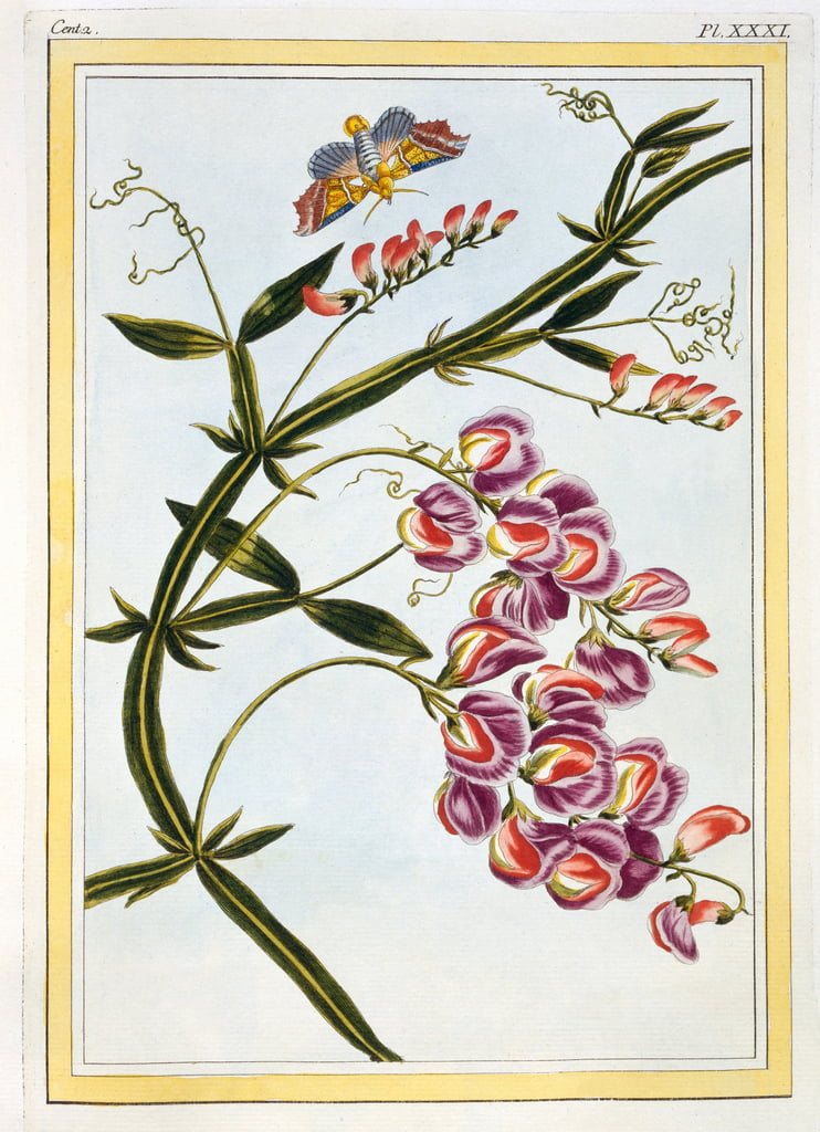 Le Grand Lathyre (Everlasting Sweet Pea), c.1776 (hand-coloured engraving) by Pierre Joseph Buchoz