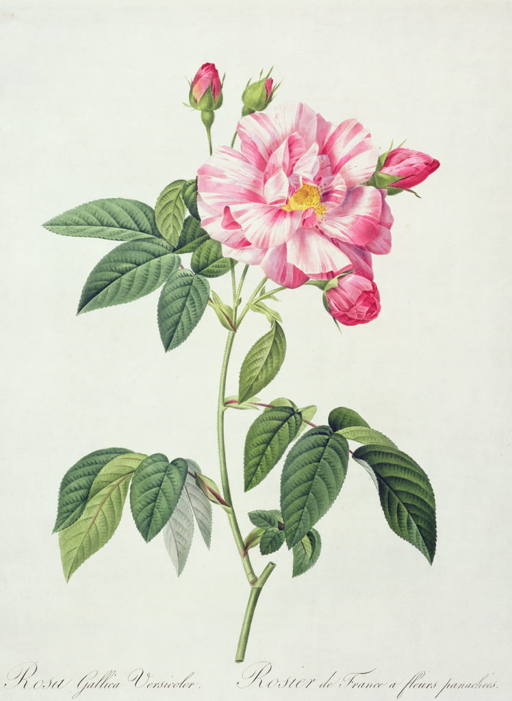Rosa gallica versicolor (French rose), engraved by Langlois, from