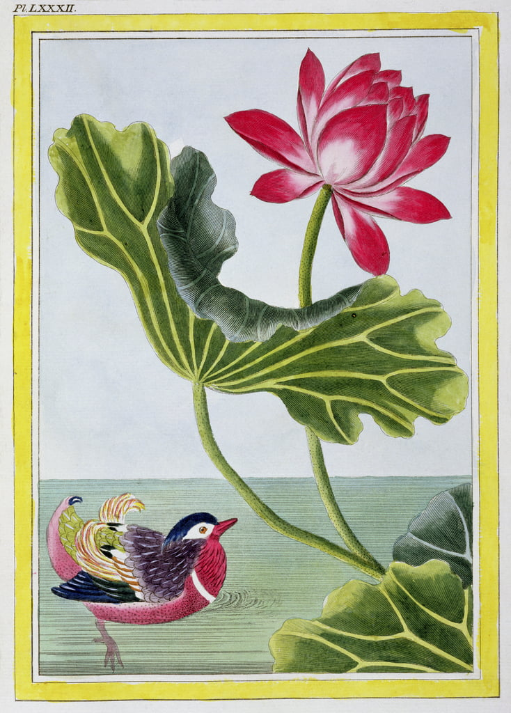 Chinese Red Water Lily, Volume I, plate 82, from