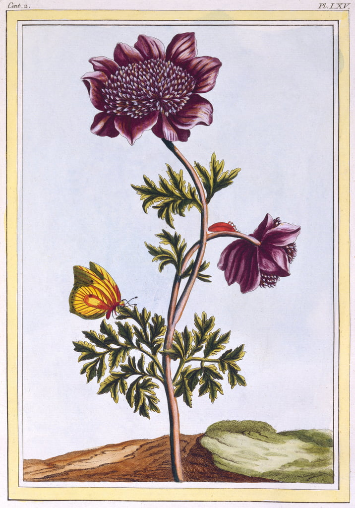 Garden Anenome (Windflower), c.1776 (hand-coloured engraving) by Pierre Joseph Buchoz