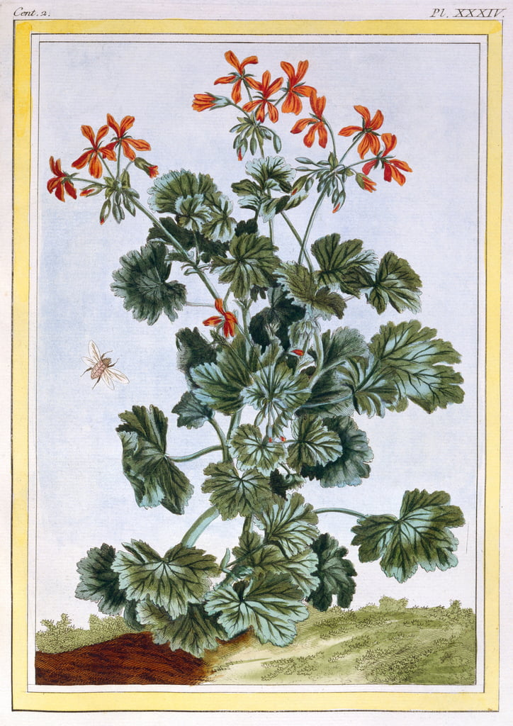 Yellow flowered Cranesbill, c.1776 (hand-coloured engraving) by Pierre Joseph Buchoz