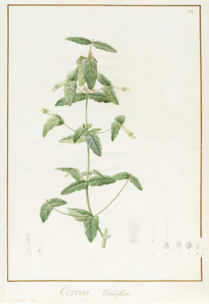 Correa Vieisiflora, 1811 (wc und bodycolour over traces of graphite on vellum) by Pierre Joseph Redouté