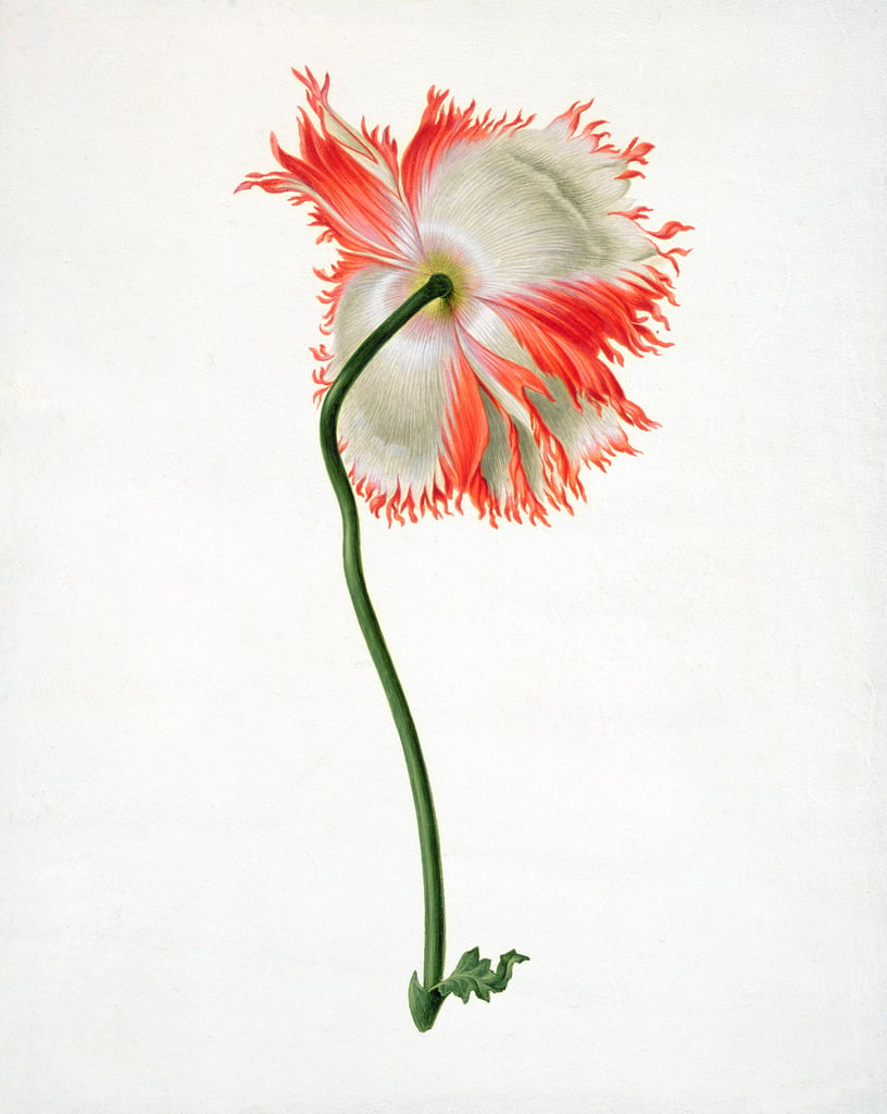 PD.101-1973f.13 Field Poppy, seen from behind (wc und gouache on vellum) by Pieter Withoos