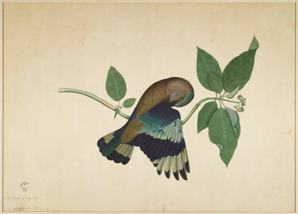 Indian Roller on Sandalwood Branch, folio from a Series Commissioned by Lady Impey, 1779 by Shaikh Zain ud Din