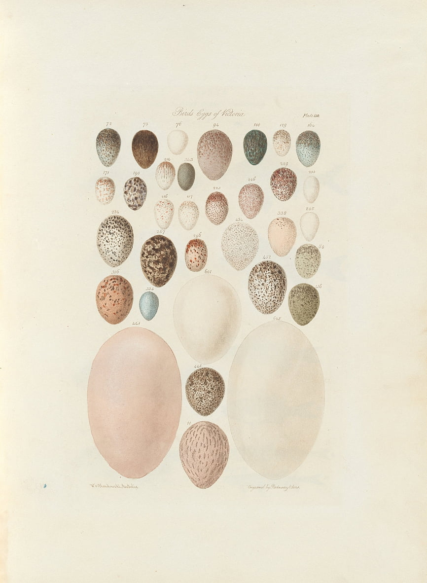Birds eggs of Victoria.the unpublished folio Australia Terra Cognita by William Blandowski. 1855-56 by William Blandowski