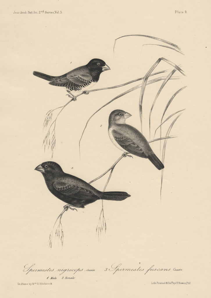 Spermestes Nigriceps (male and female) and Spermestes Fuscans, litho by J.T. Bowen, 1850  by William E. Hitchcock