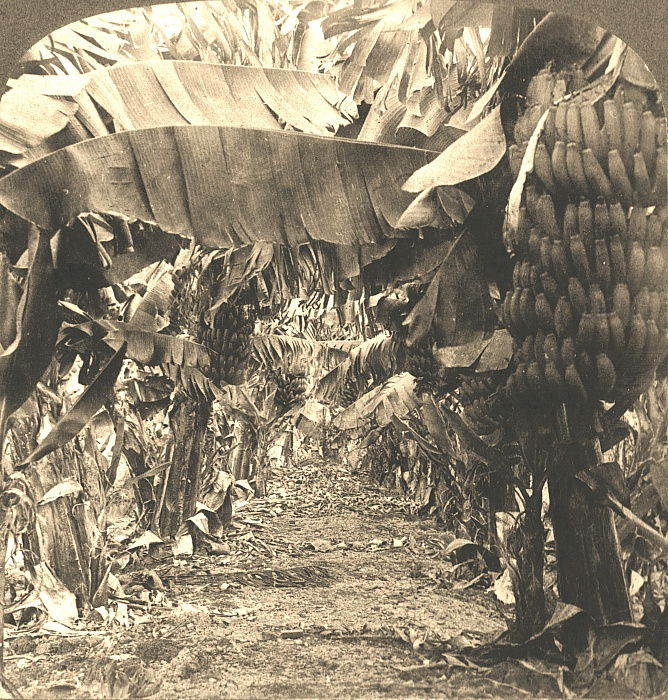 In the Heart of a Banana Plantation, Hawaiian Islands, 1901.  by Works and Sun Sculpture Studios